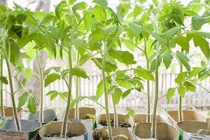 Стимулятор росту для томатів: огляд препаратів