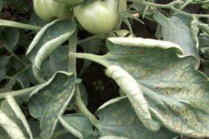 У томатів скручуються листя